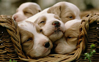 Puzzle: Puppies скриншот 3